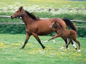 Обои Мать и сын - обе лошади: , Лошади