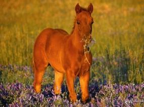Обои Конь в цветах: , Лошади