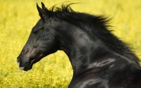 Обои Чёрный жеребец: Чёрный, Конь, Мустанг, Жеребец, Лошади