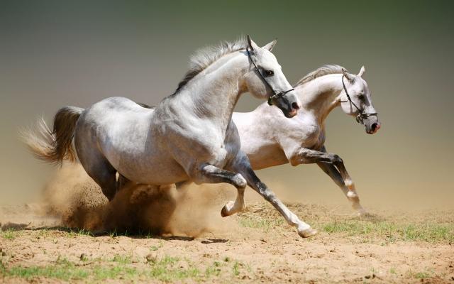 Бегущие белые лошади