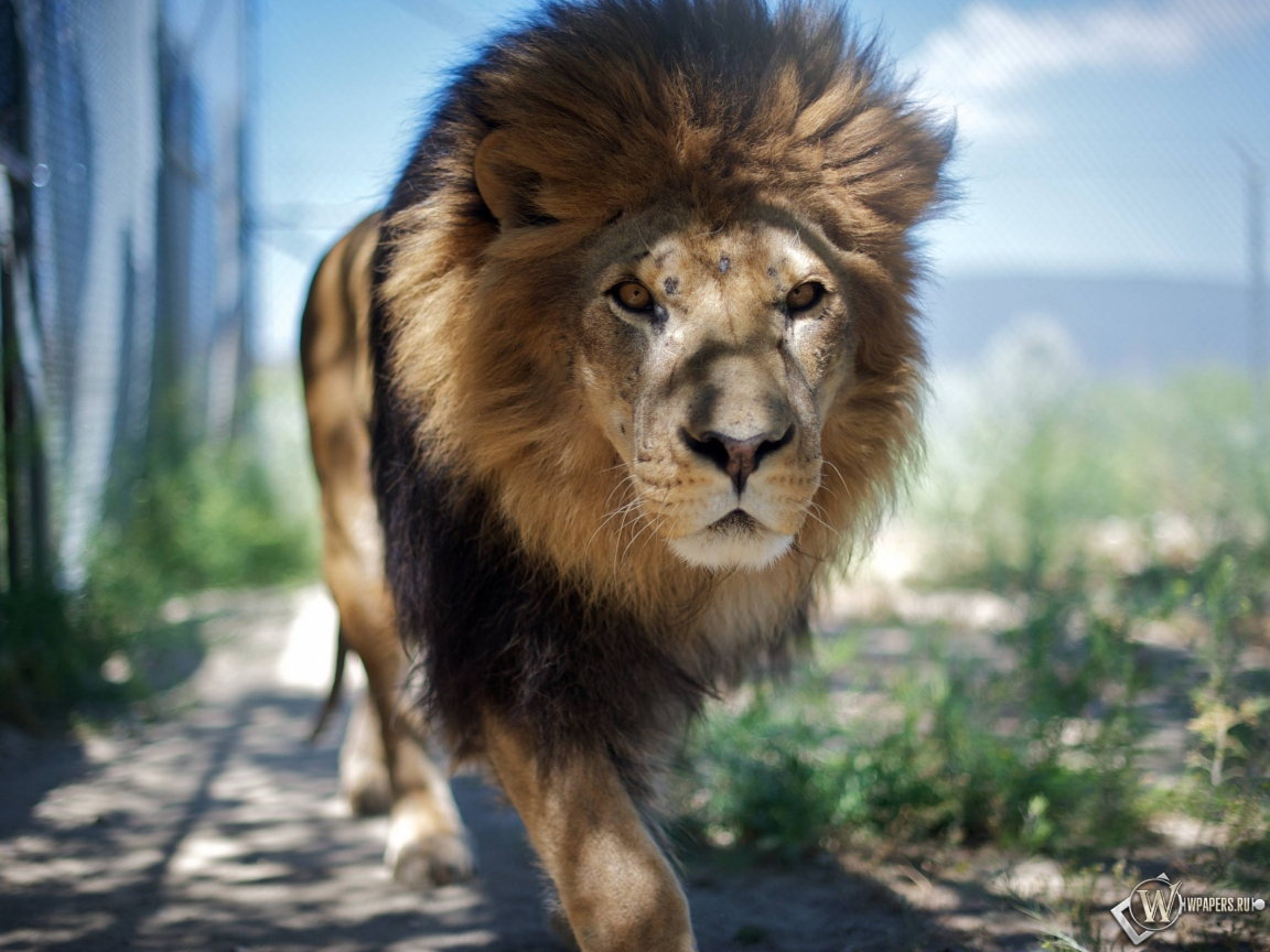 Гуляющий лев 1152x864