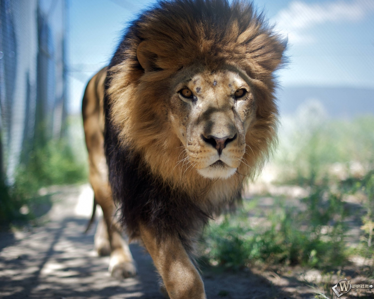 Гуляющий лев 1280x1024