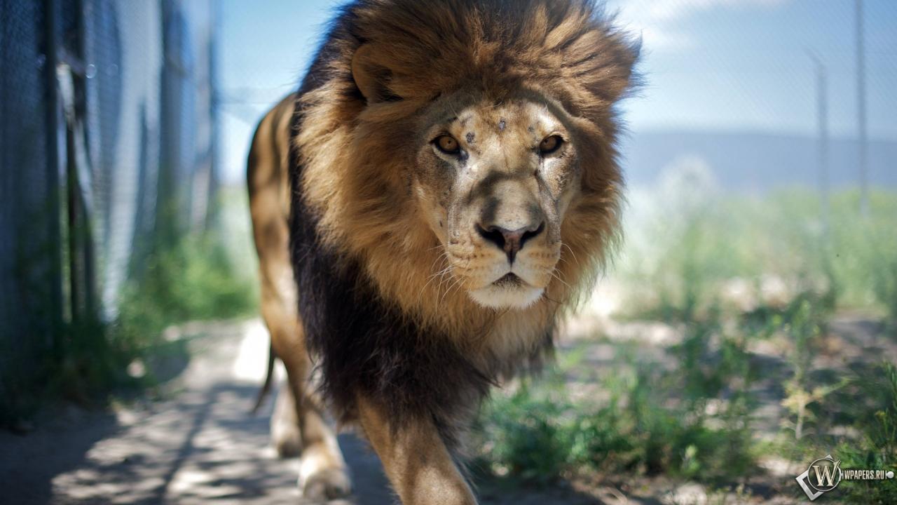 Гуляющий лев 1280x720