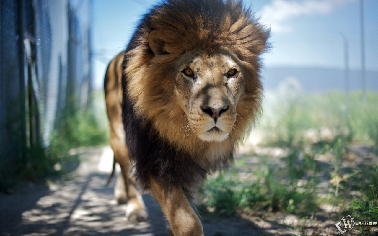 Гуляющий лев 1280x800