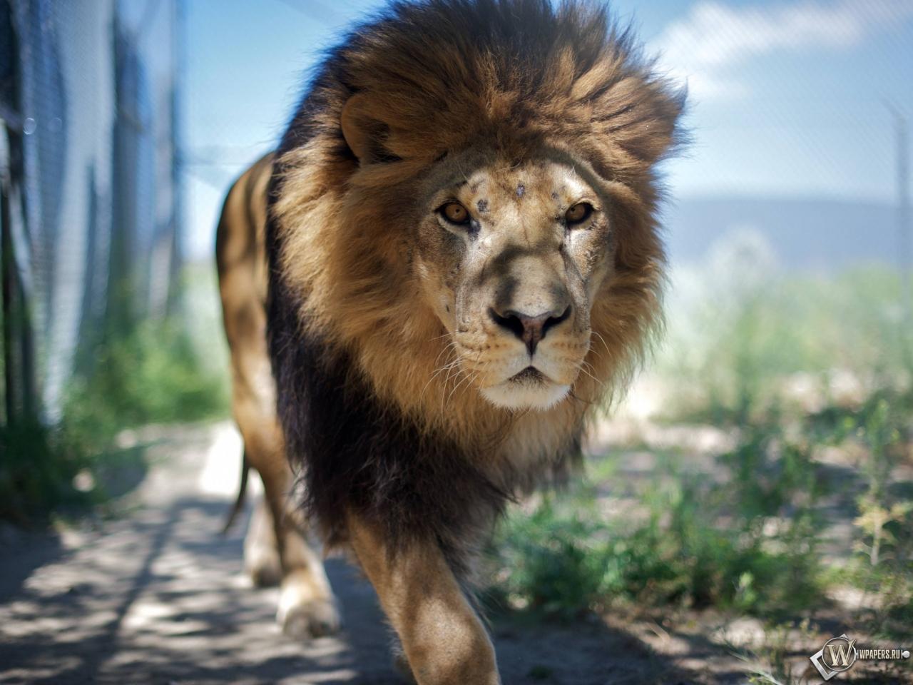 Гуляющий лев 1280x960