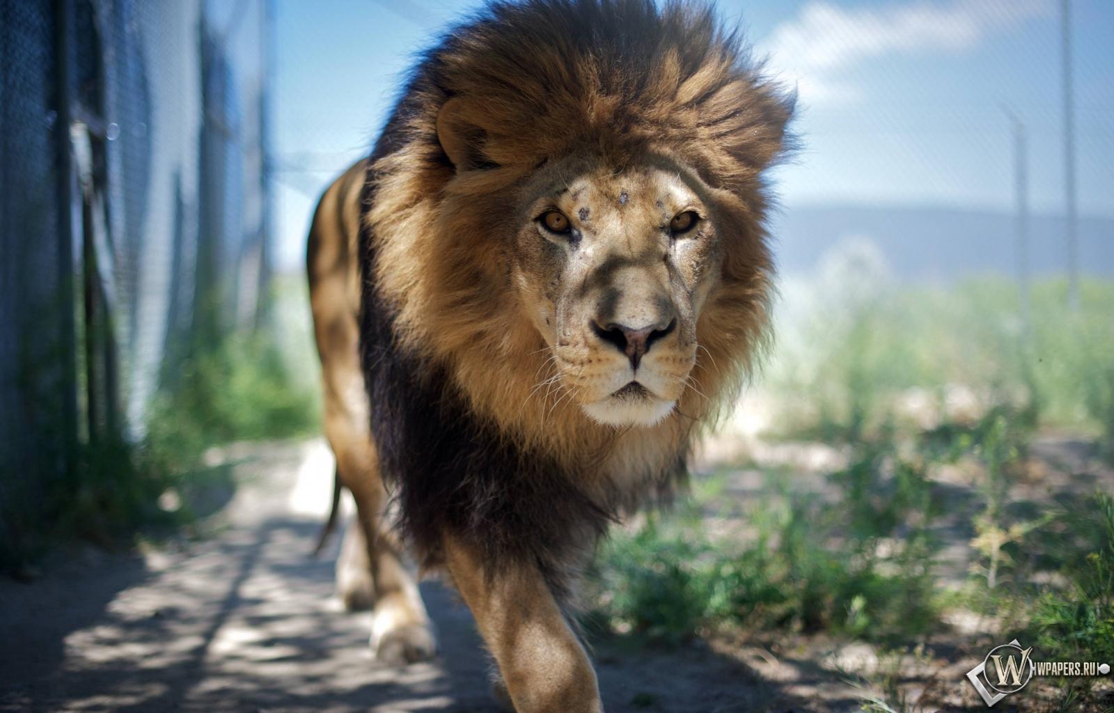 Гуляющий лев 1600x1024