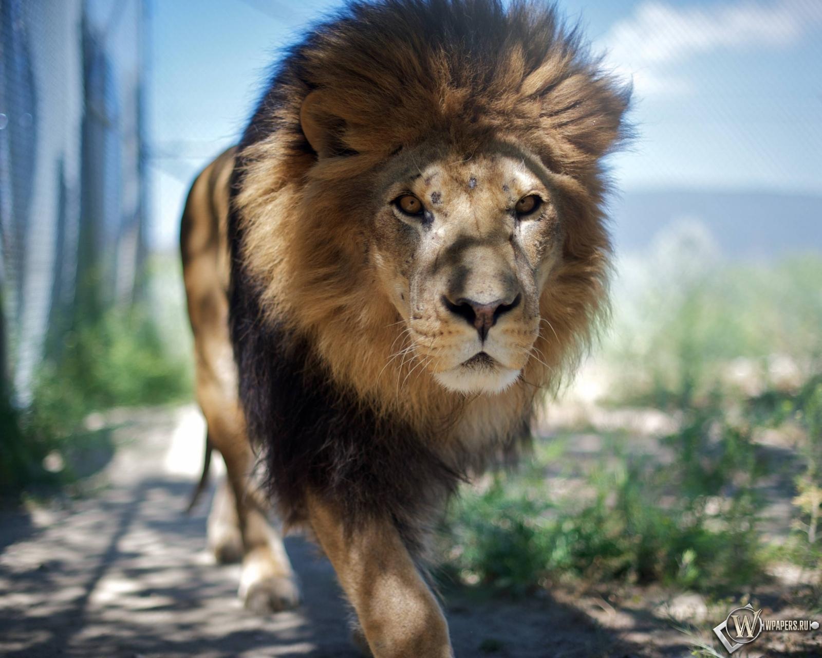 Гуляющий лев 1600x1280