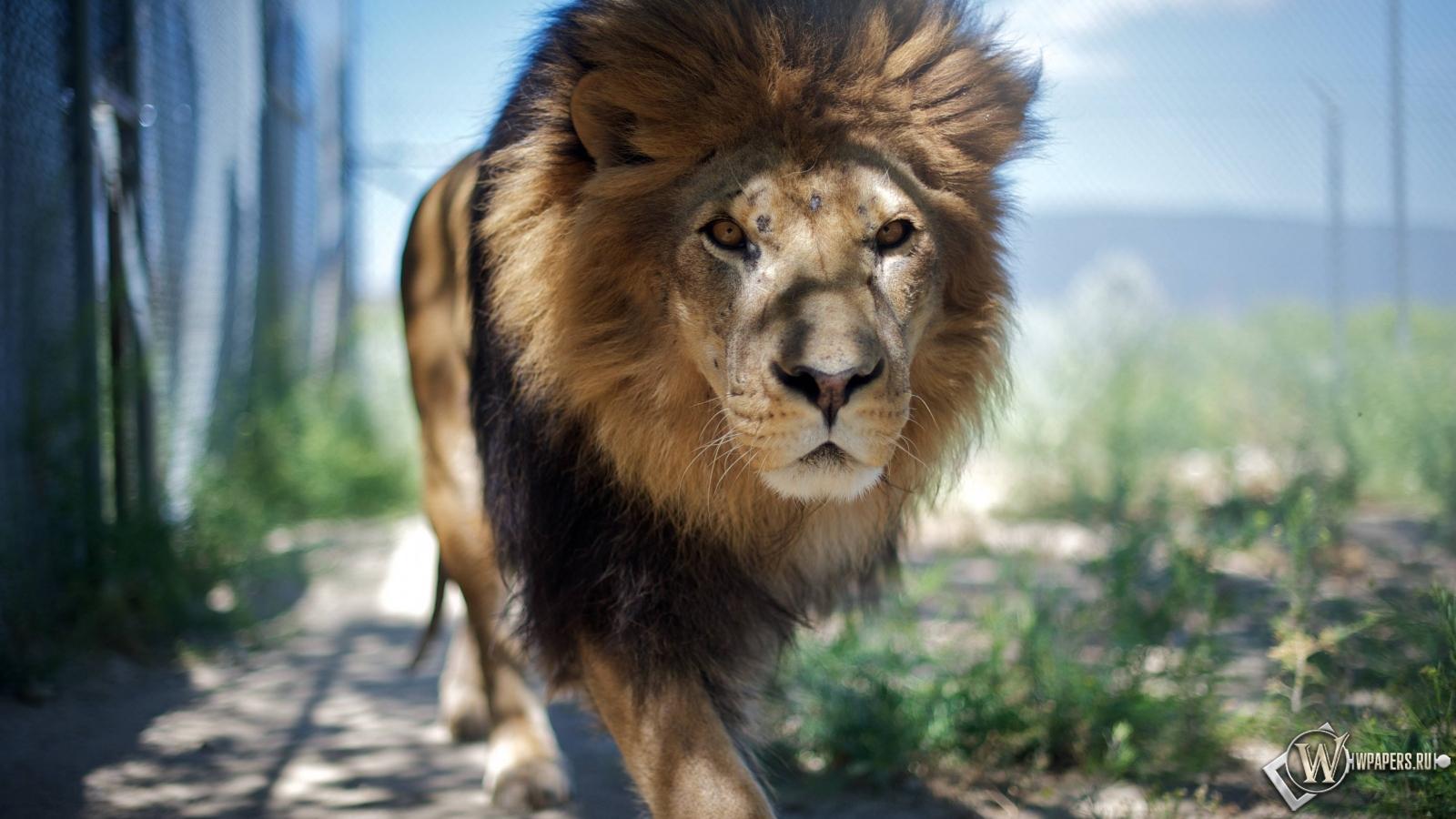 Гуляющий лев 1600x900