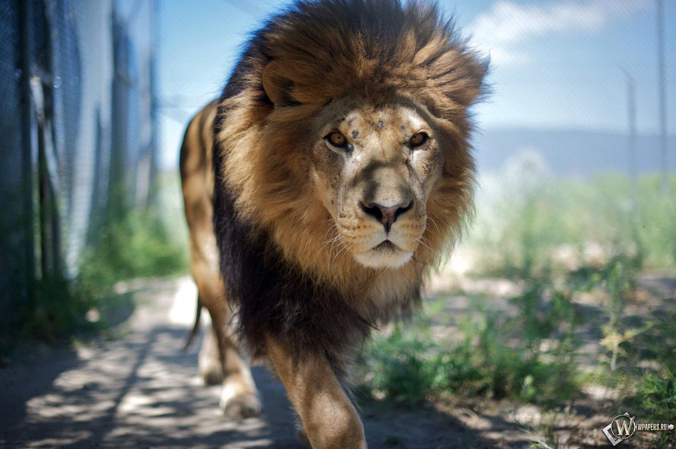 Гуляющий лев 2300x1530