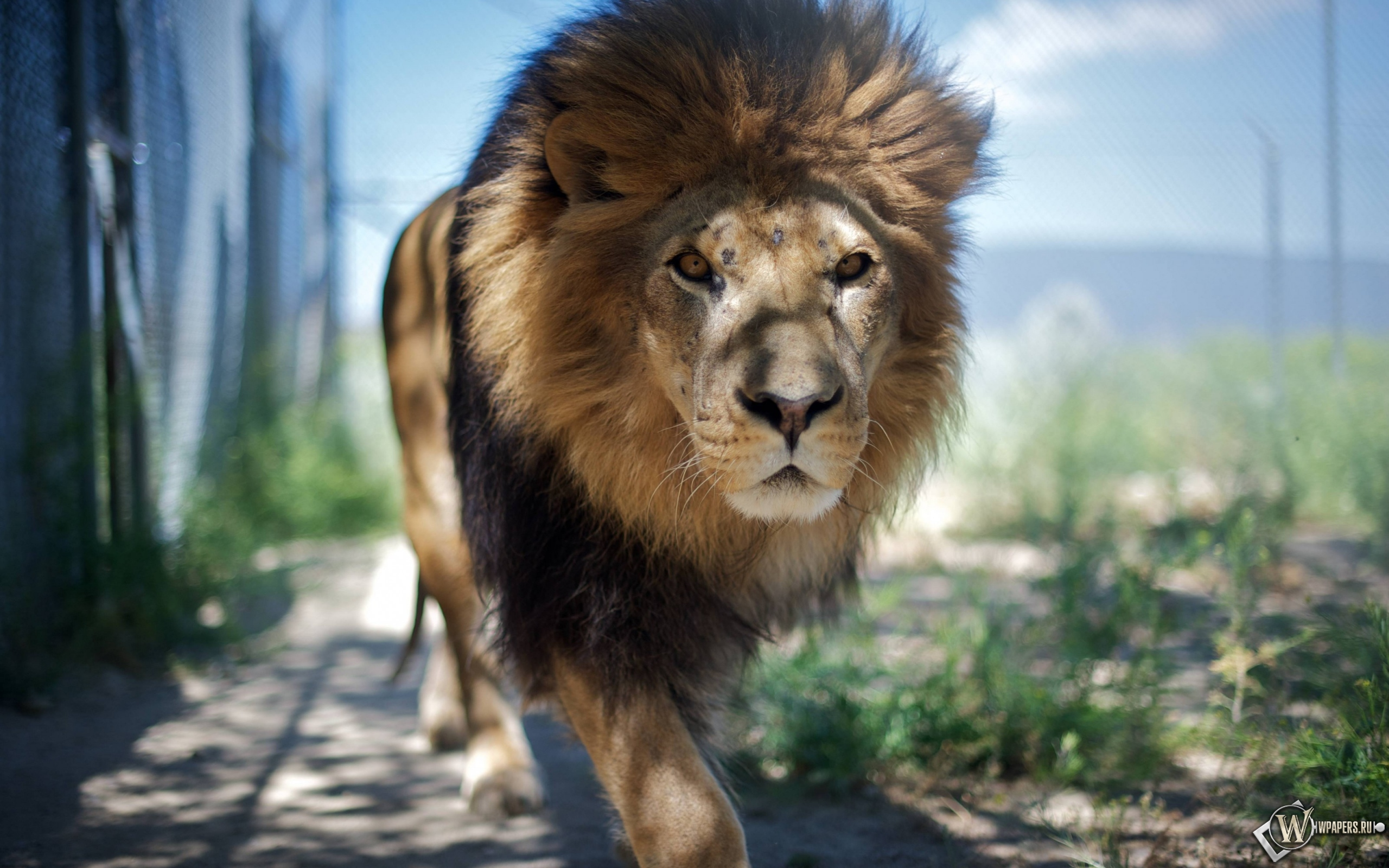 Гуляющий лев 2560x1600