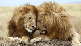 Обои Львиная любовь: Любовь, Лев, Львица, Львы