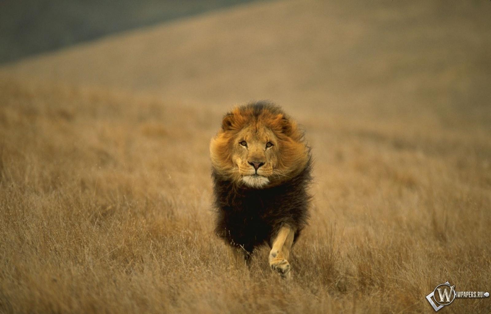 Лев-царь зверей 1600x1024