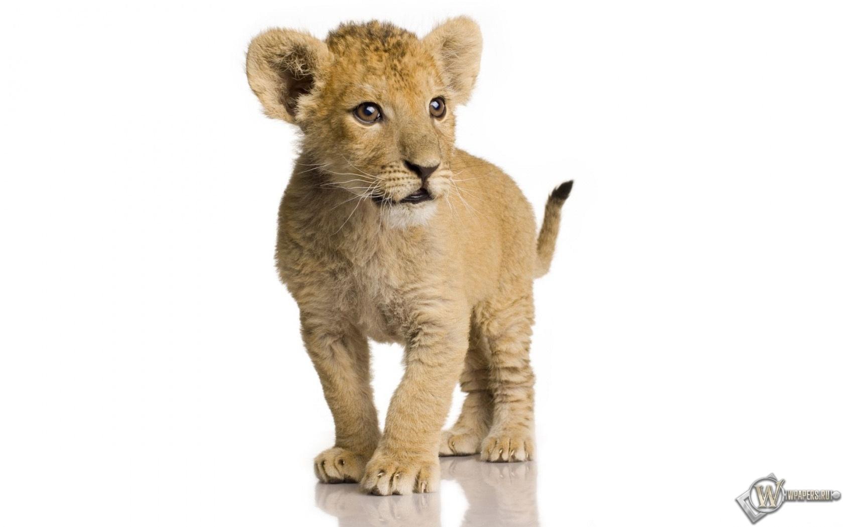 Львёнок 1680x1050