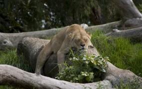 Обои Спящая львица: Сон, Кошка, Львица, Львы