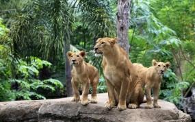 Обои Львица и львята: Львица, Львята, Львы
