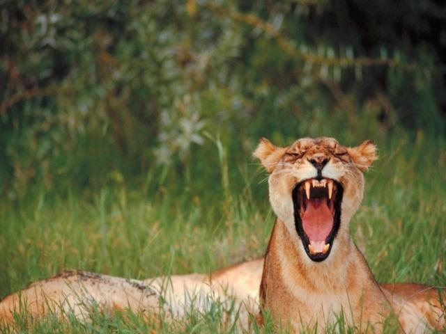 Зевающая львица