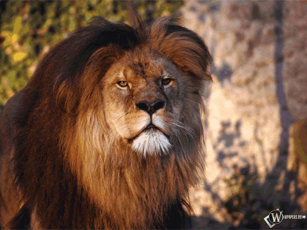 Уставший лев 1024x768