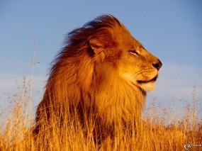 Обои Лев наслаждающийся ветром: Ветер, Поле, Лев, Львы