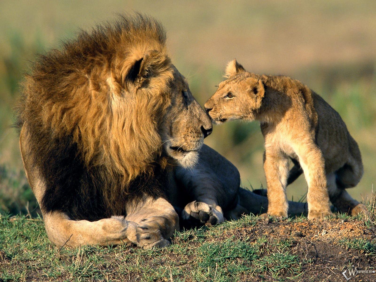 Лев со львенком 1600x1200