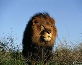 Обои Лев в траве: Трава, Лев, Львы