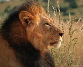 Обои Лев на поле: Поле, Поле пшеницы, Лев, Львы