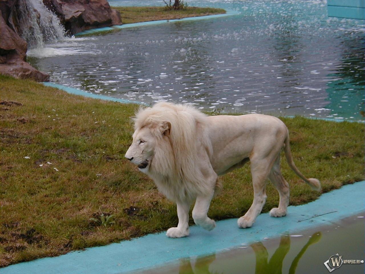 Белый лев на берегу 1280x960