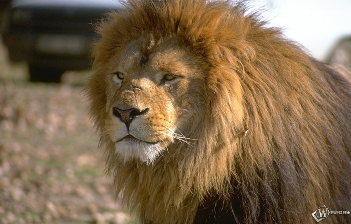Лев смотящий вперед 1200x768