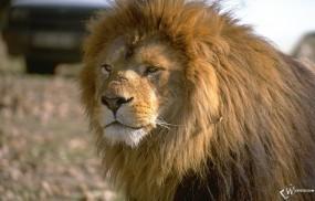 Обои Лев смотящий вперед: Лев, Грива, Львы