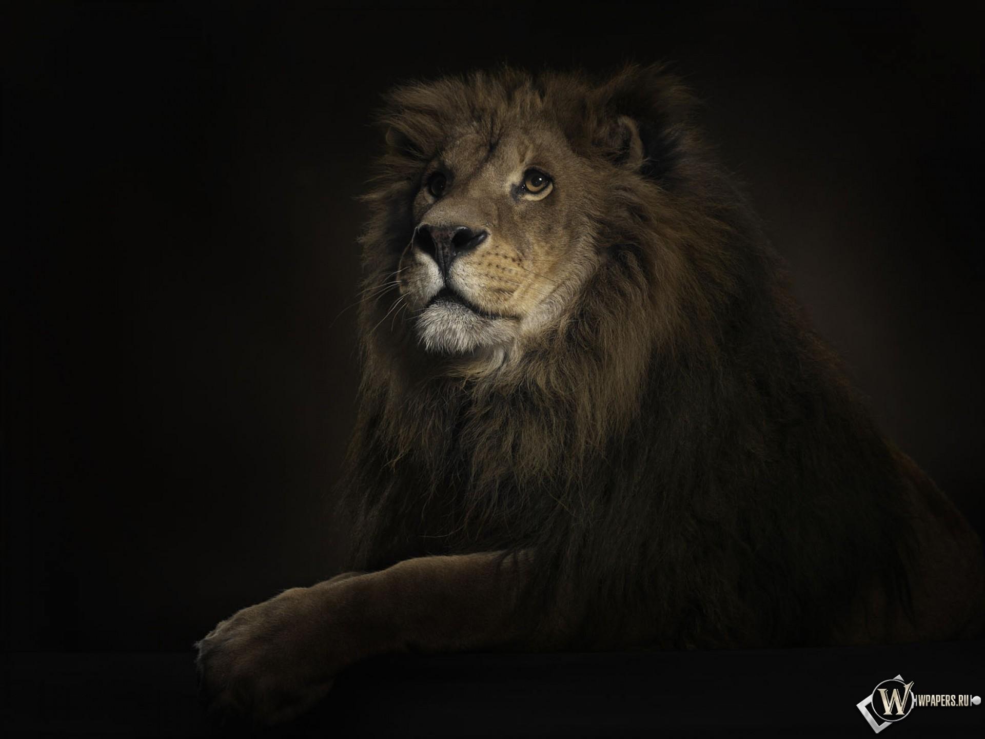 Лев на черном фоне 1920x1440