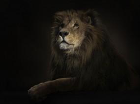 Обои Лев на черном фоне: Зверь, Царь зверей, Король Лев, Лев, Львы