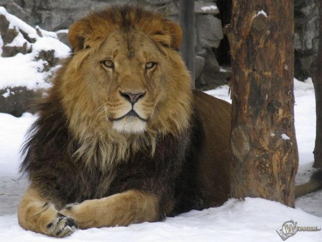 Лев на снегу