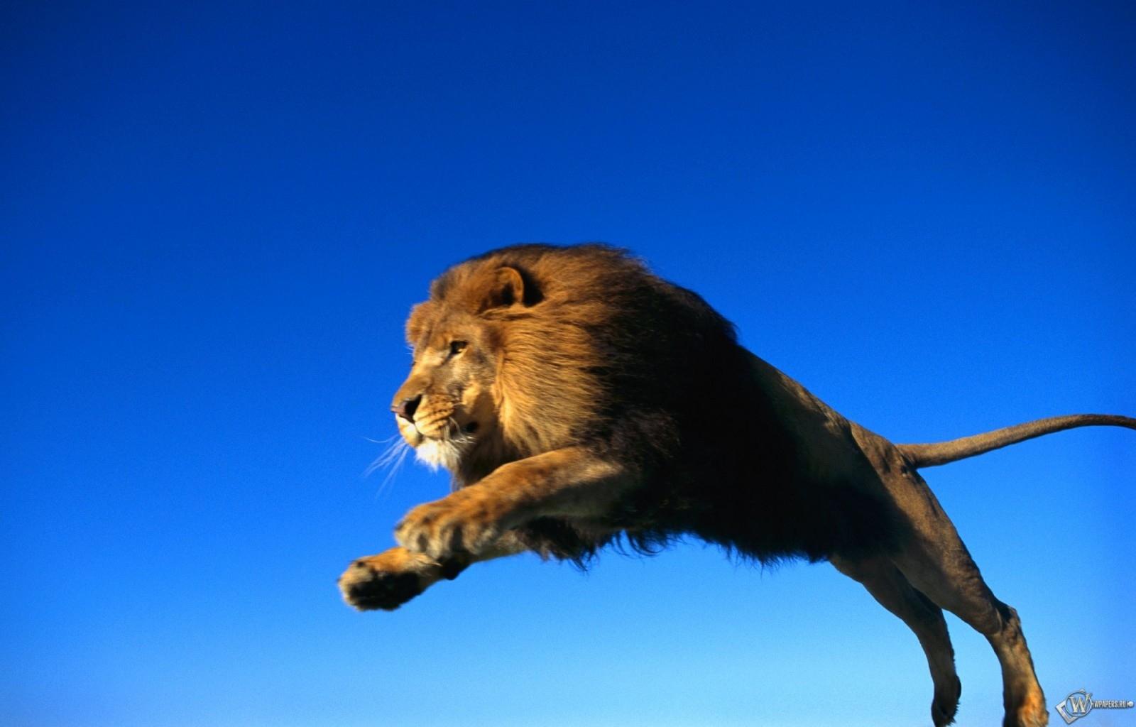 Лев в прыжке 1600x1024