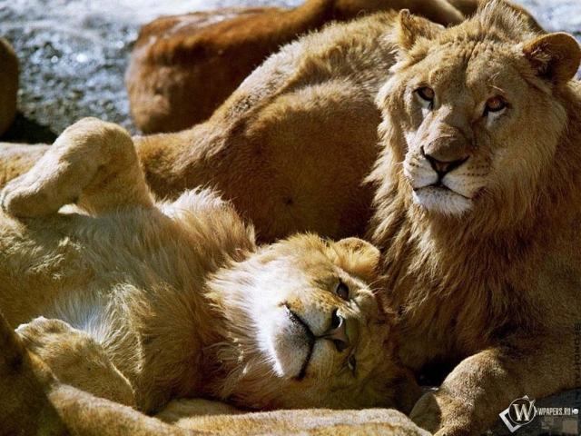 Лев со Львицей