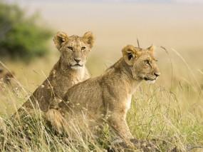 Обои Два львенка: Поле, Львята, Львы