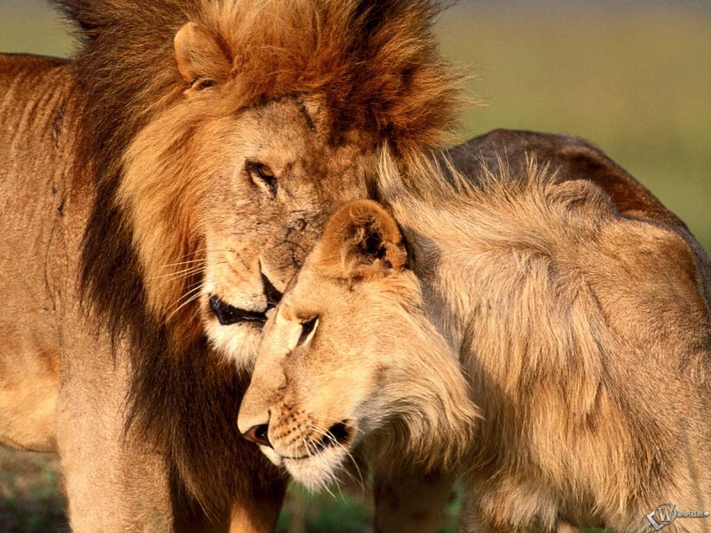 Лев с львицей 1024x768