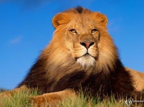 Обои Гордый лев: Лев, Грива, Величество, Львы