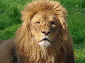 Обои Большой лев: Морда, Лев, Грива, Львы