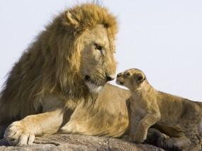 Обои Лев со львенком: Лев, Львенок, Львы