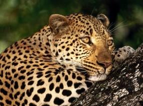 Обои Леопард отдыхает: Леопард, Кошка, Пятна, Леопарды