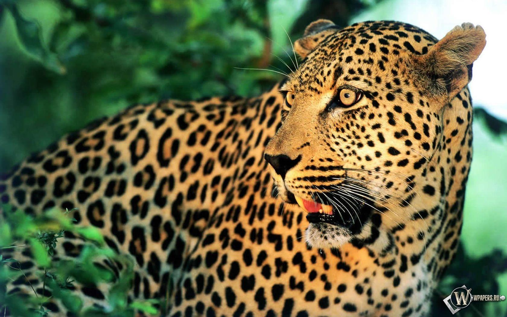Леопард 1680x1050