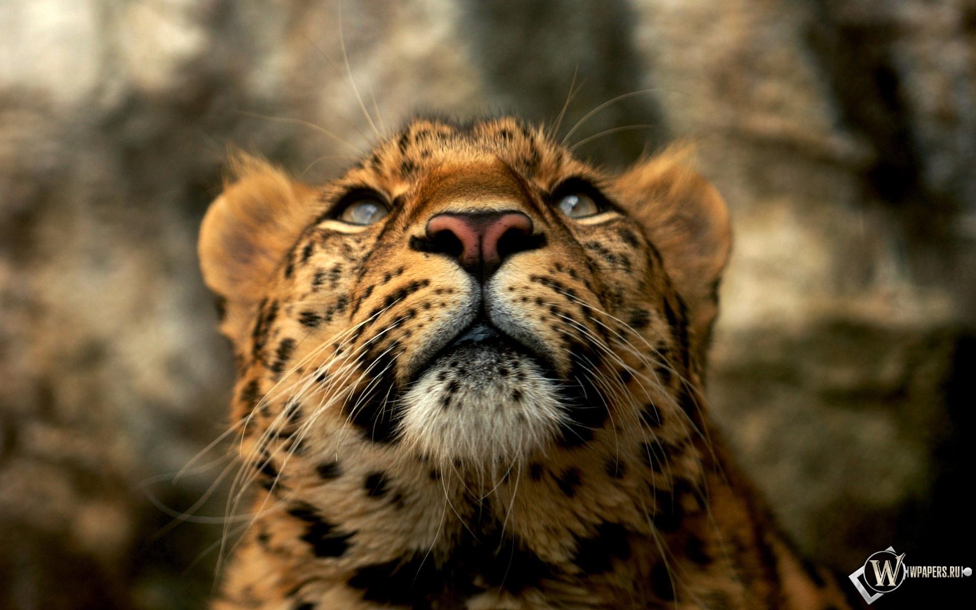 Леопард 1920x1200