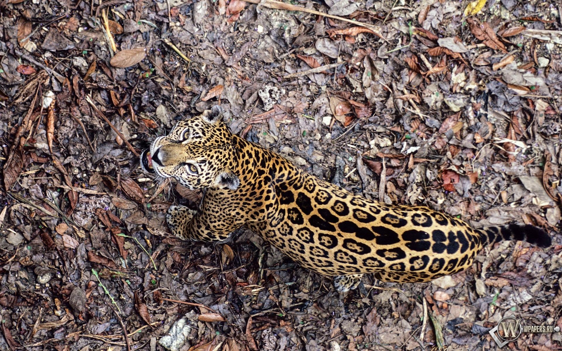 Леопард сверху 1920x1200