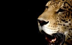 Обои Зевающий леопард: Леопард, Морда, Леопарды