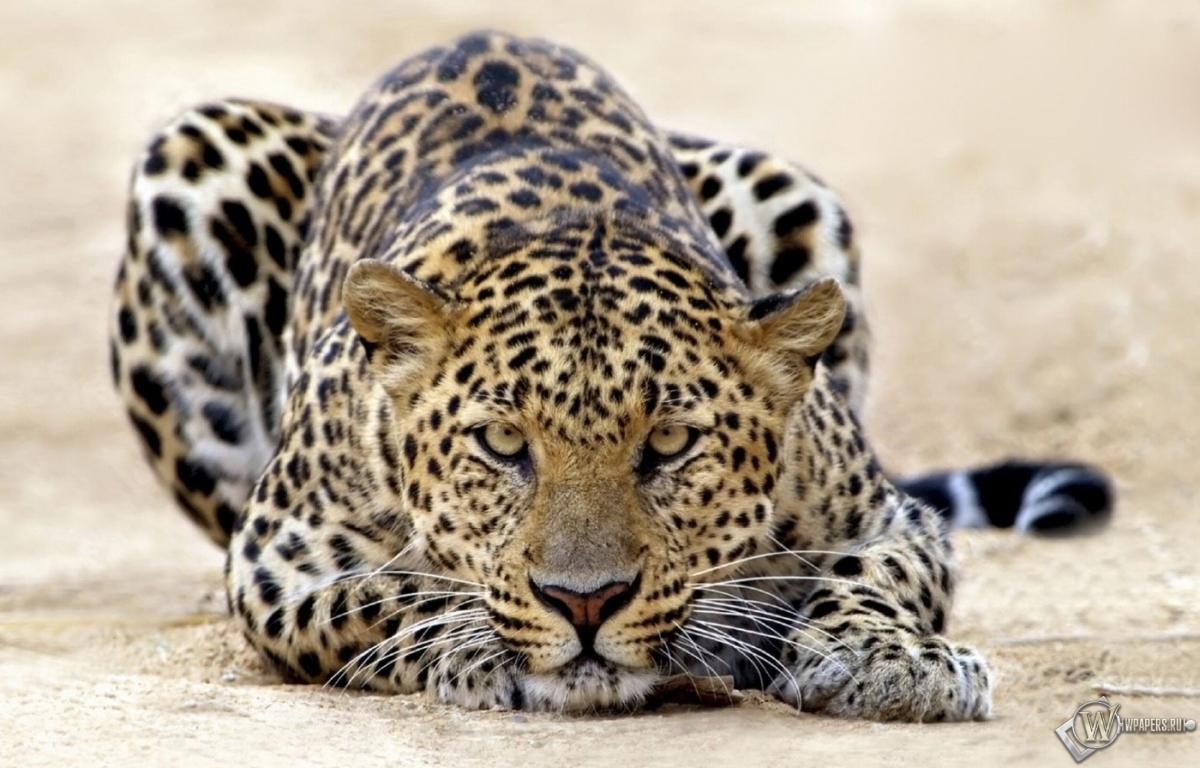 Пятнистый леопард 1200x768