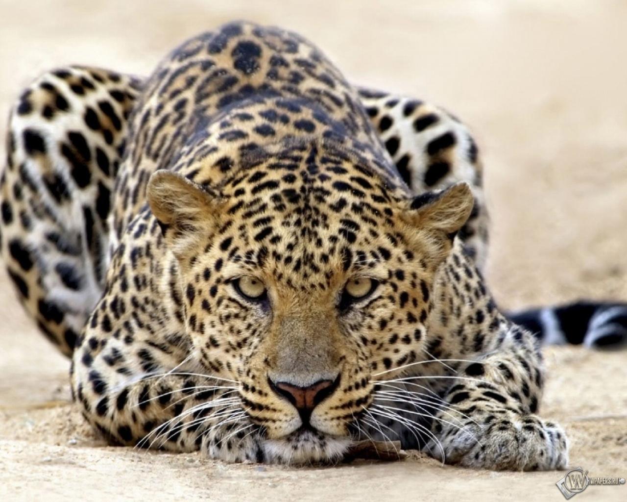 Пятнистый леопард 1280x1024