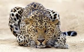 Обои Пятнистый леопард: Леопард, Песок, Леопарды