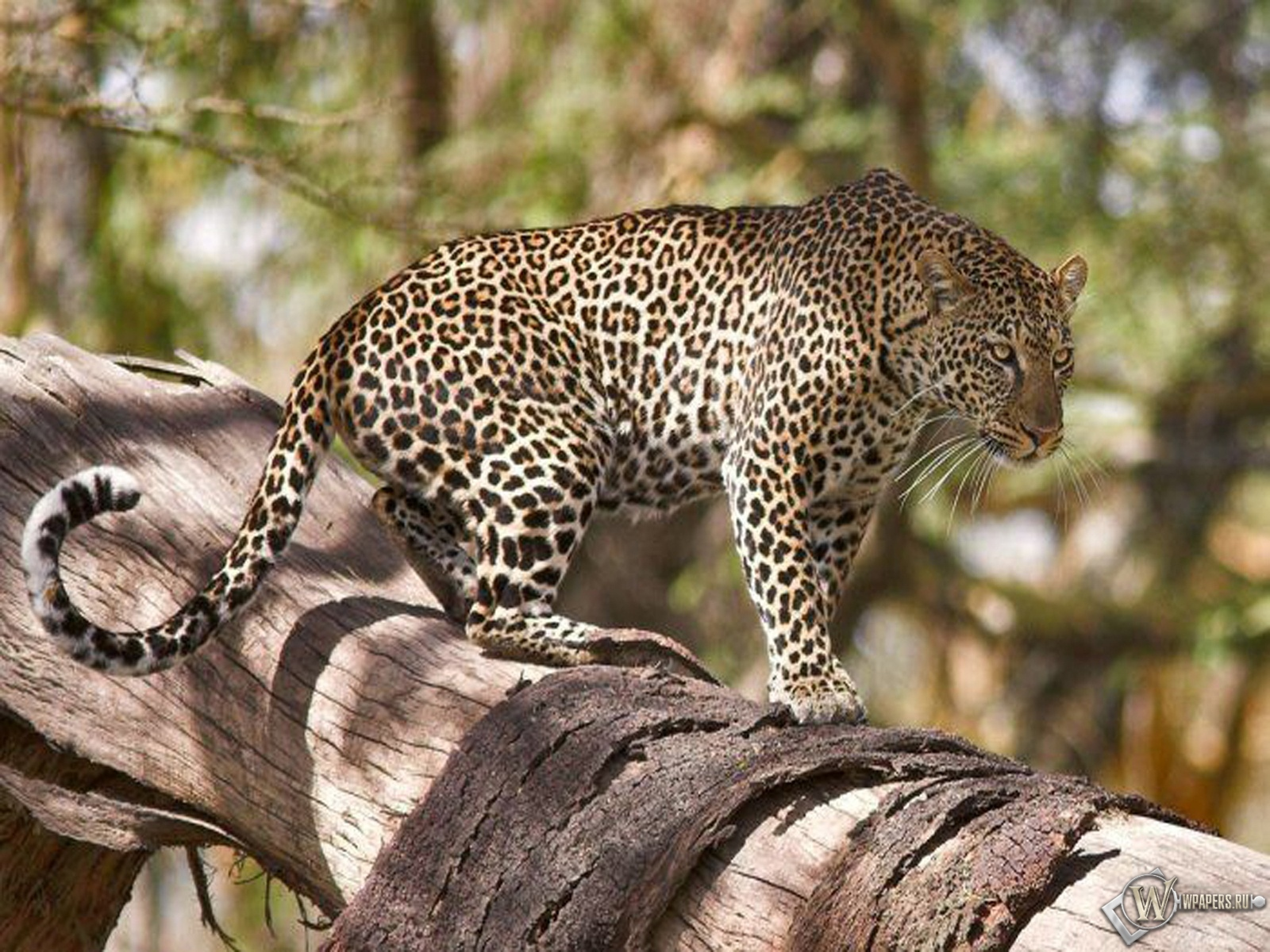 Леопард на дереве 1600x1200