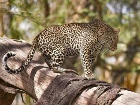 Обои Леопард на дереве: Леопард, Дерево, Хищник, Леопарды