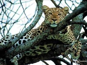 Обои Леопард отдыхает на дереве: , Леопарды