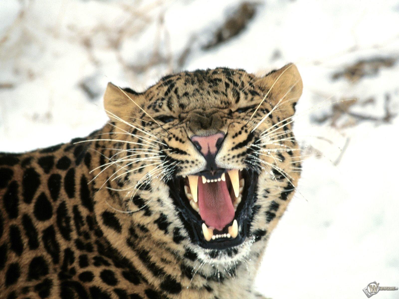 Дальневосточный леопард 1600x1200